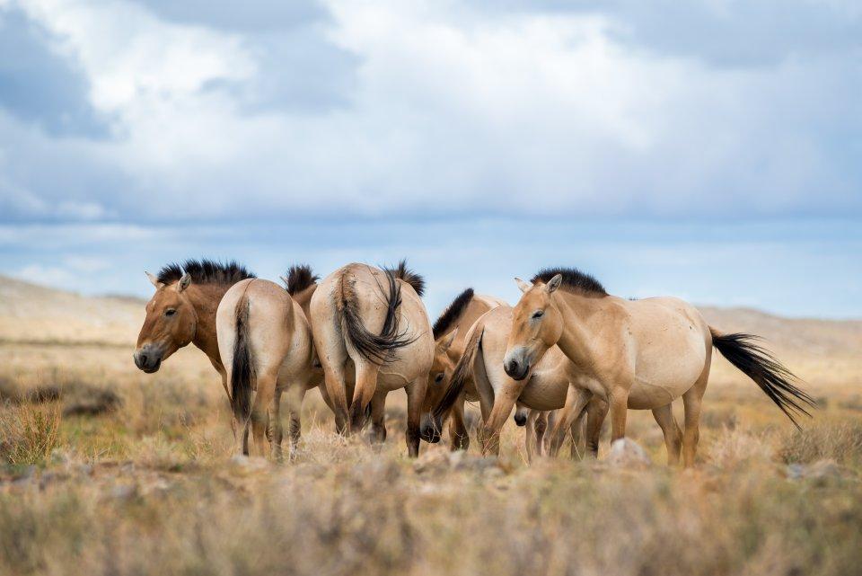 transport koní Převalského z pražské ZOO do Přísně chráněné oblasti Gobi B v Mongolsku