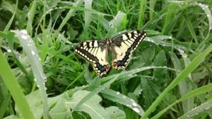 Motýl na dopolední louce